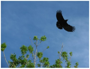 Crow flying left to right