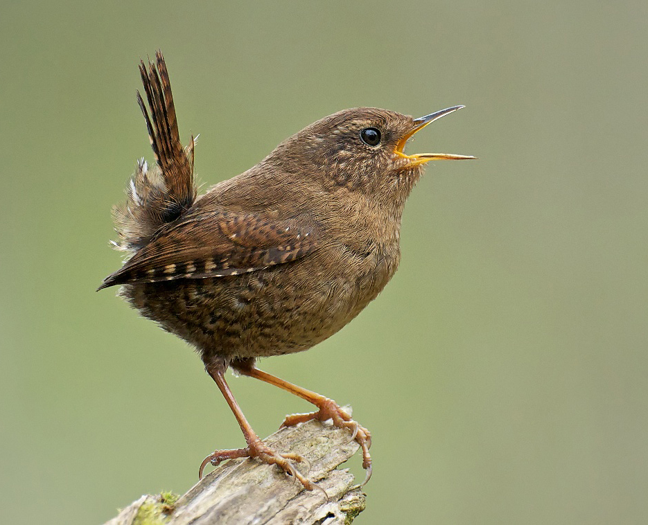 Картинки с голосами птиц